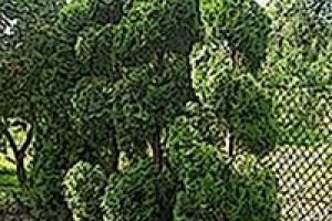 Przycianie drzewek na zamówienie